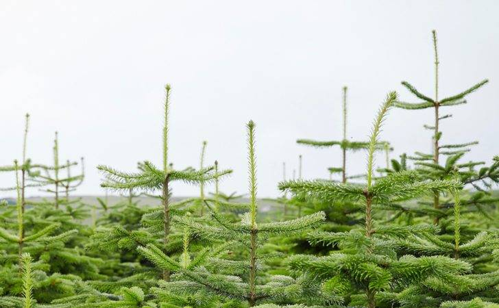 Care Your Real Christmas Tree Help Ideas