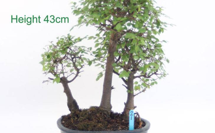 Chinese Elm Bonsai Tree Group Number All Things