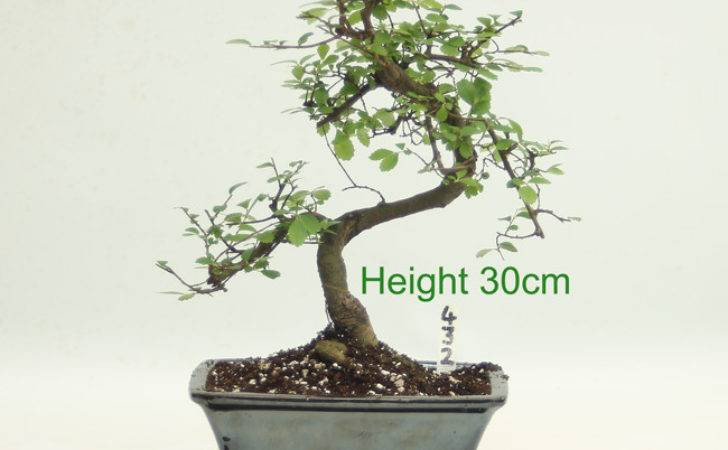 Chinese Elm Bonsai Tree Number All Things