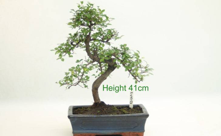 Chinese Elm Indoor Bonsai Tree Number All Things