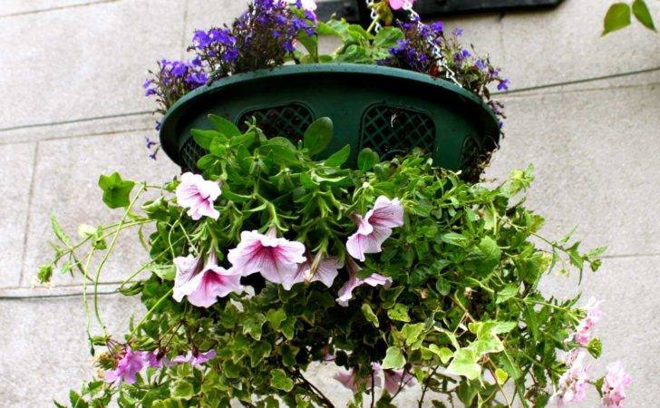 Create Pretty Hanging Basket Jersey Plants Direct