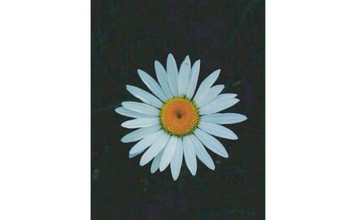 Daisy Flowers Homescreen Iphone