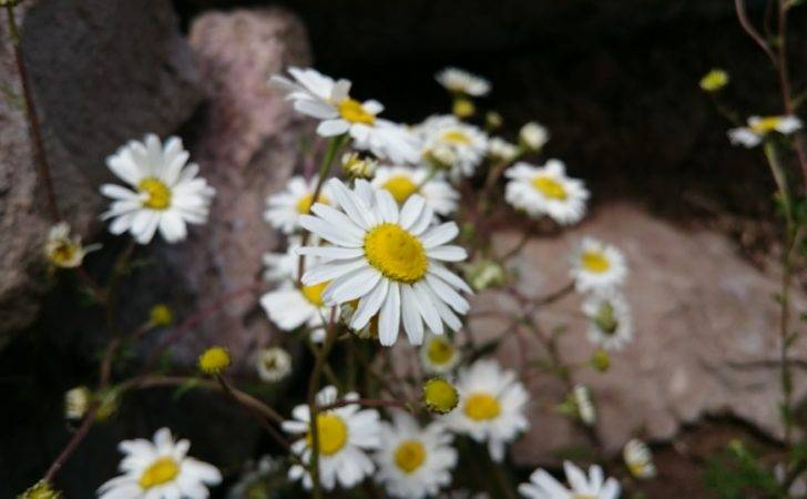 Daisy Flowers Rocks