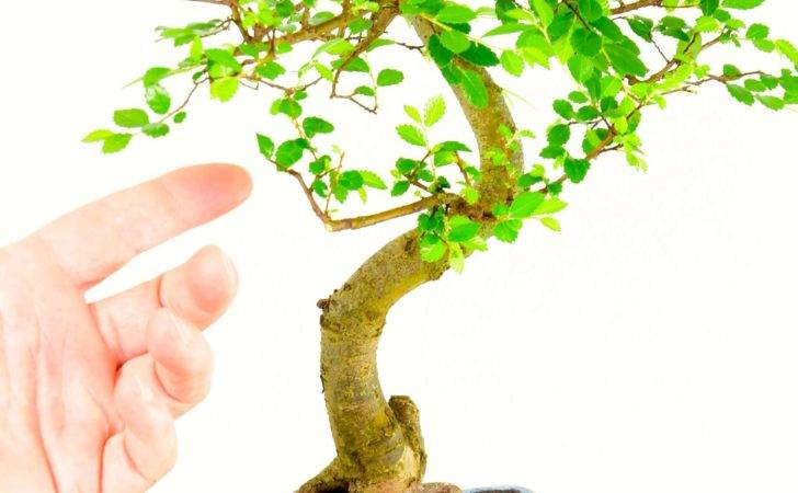 Highly Recommended Indoor Chinese Elm