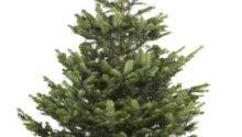 Large Cut Nordman Fir Real Christmas Tree Customer