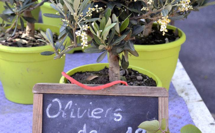 Potted Olive Tree Care Curious Provence