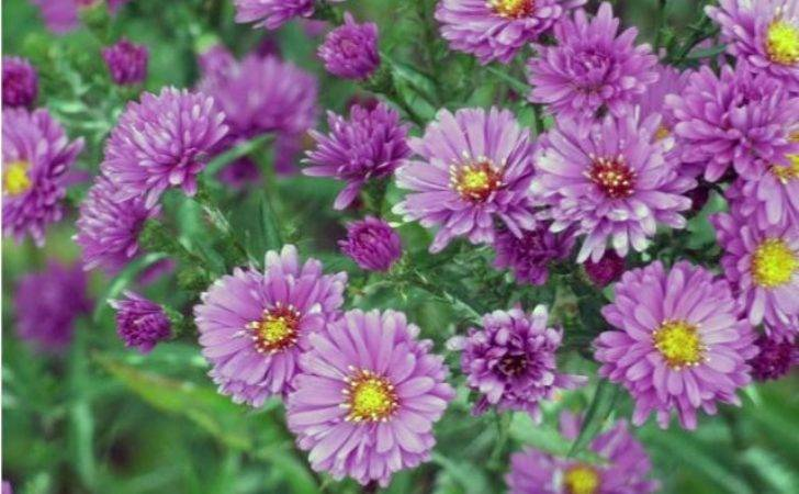 Pretty Garden Flowers Purple Bright Yellow Eyes