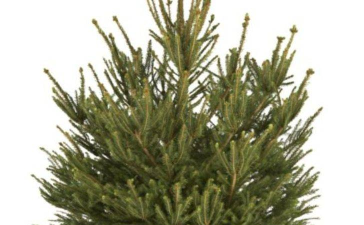 Small Cut Norway Spruce Real Christmas Tree Customer