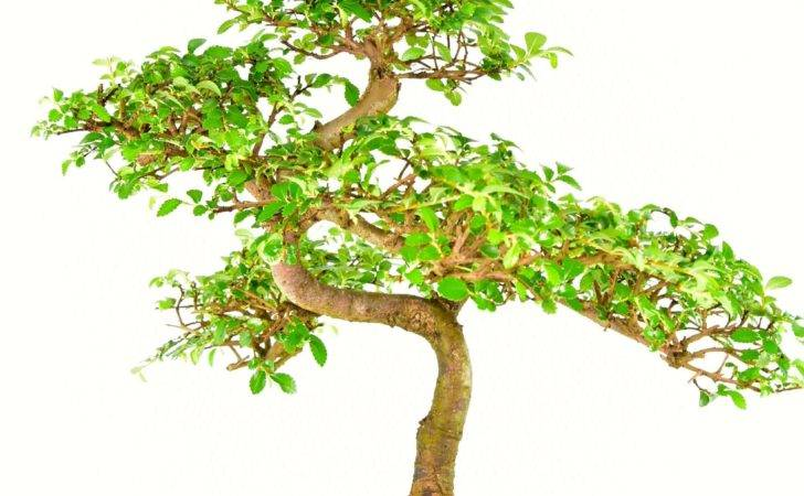 Stunning Excellence Range Chinese Elm Indoor Bonsai Sale