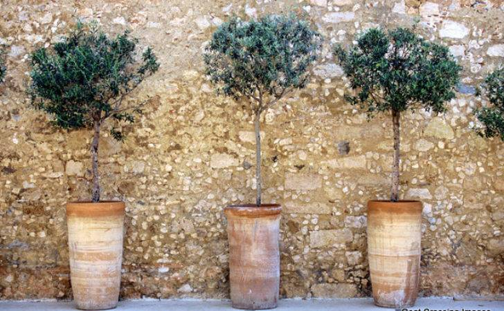 Three Potted Olive Trees Flickr Sharing